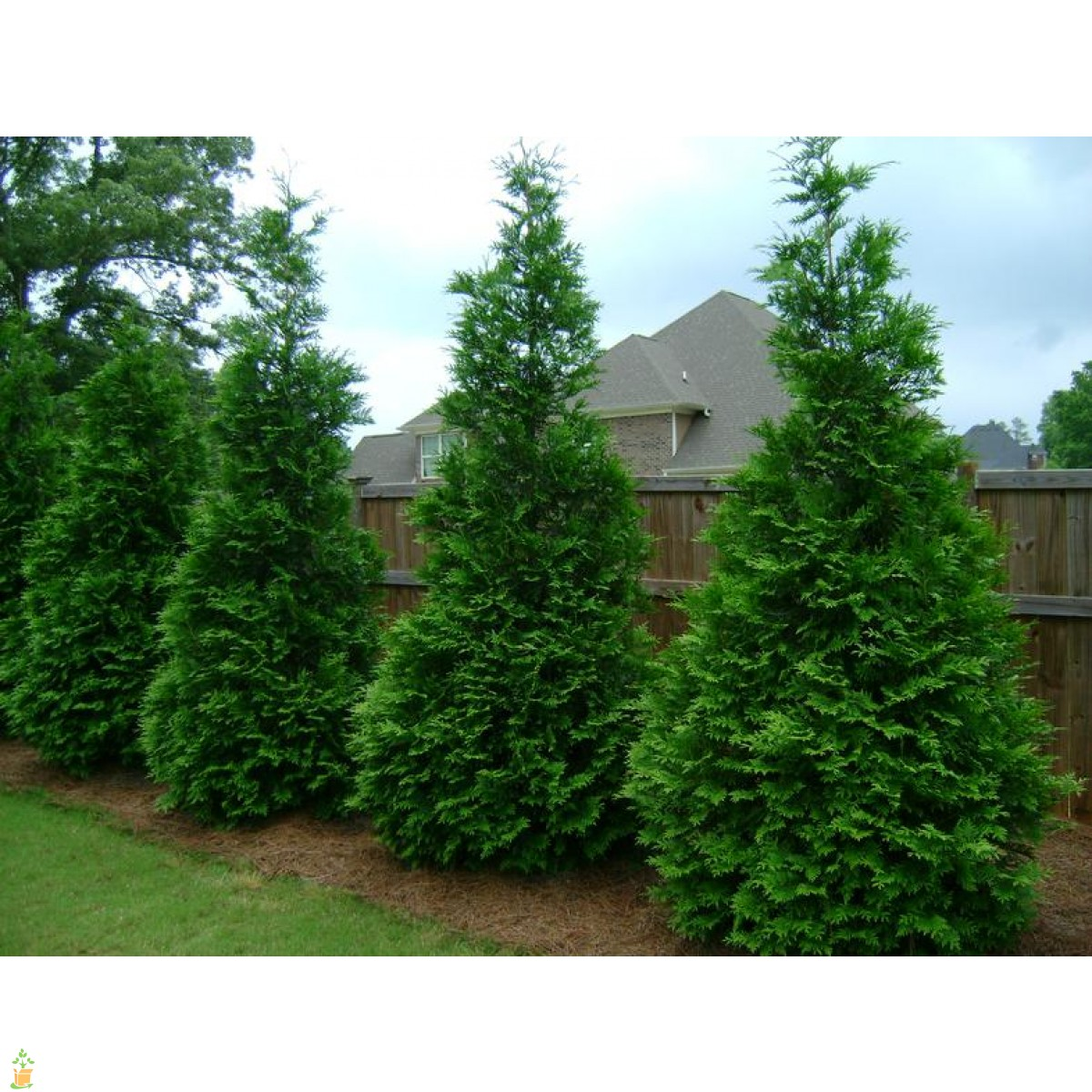 Arborvitae green giant cartoon pictures to pin on Green giant arborvitae